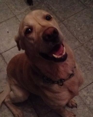 Procurando Para O Meu Cachorro Labrador Funchal-51017